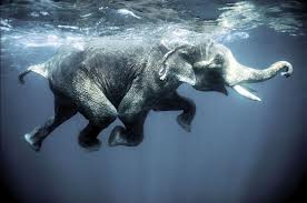 Elephants Harassed for Swimming Long Distances. (click on photo to read article)