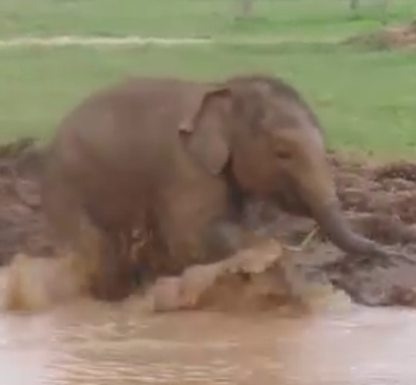 Baby Elephant Sprints & Splashes. {click on photo for joyful video}
