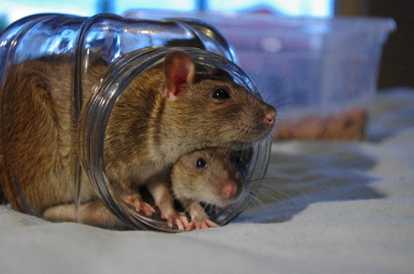 5 Adorable & Talented Rats that Melt Our Hearts. (Click photo for story)